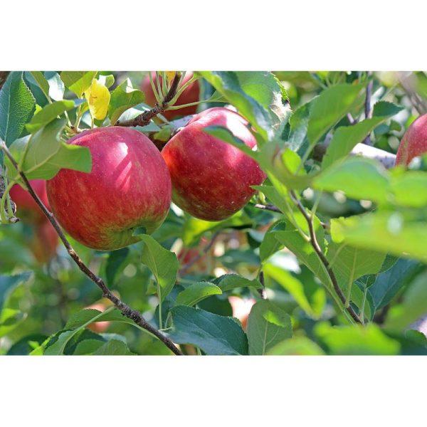 apple-2720105_1920